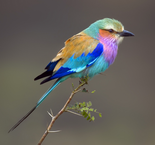 Lilac breasted Roller in South Africa.
